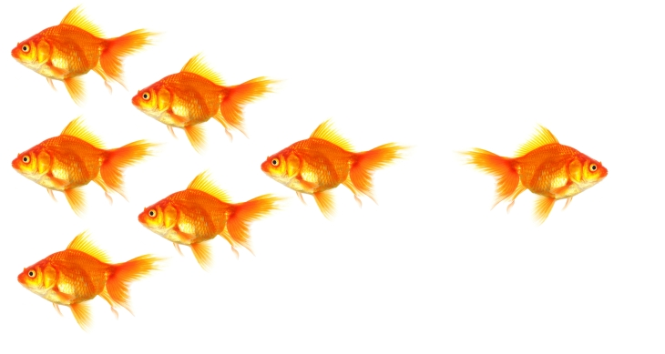 A group of goldfish swimming with one swimming the wrong way